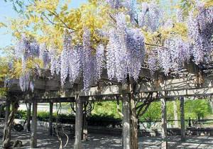 wisteria-pergola-l